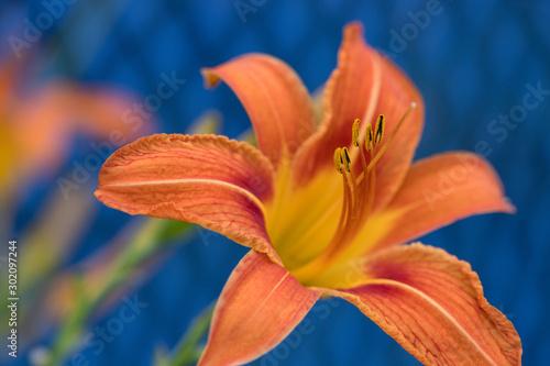 Original Orange daylily against a blue background