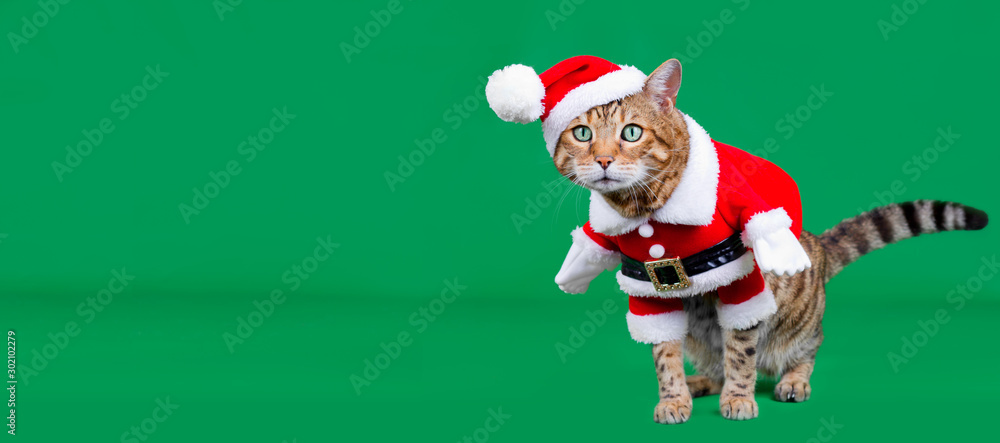 Fototapeta Christmas banner - Bengal cat dressed up in Santa Claus costume on green background with copy space