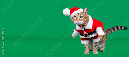 Christmas banner - Bengal cat dressed up in Santa Claus costume on green backgro Wallpaper Mural