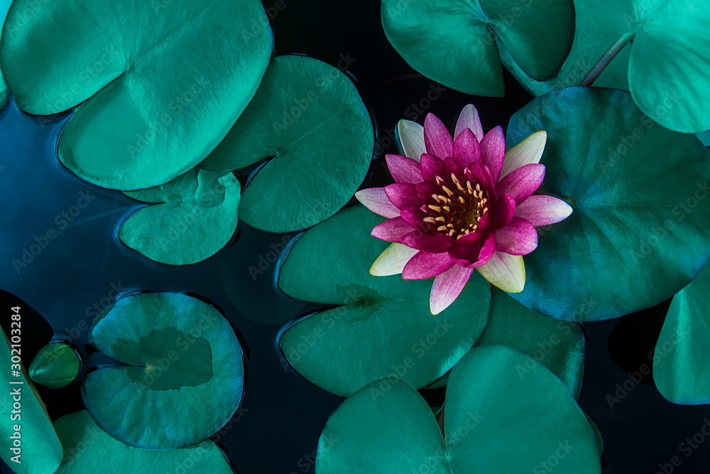 Fototapety, obrazy: Beautiful lotus leaf near the pond, pure natural background, red lotus, lotus flower on the water surface and dark green watery leaves.