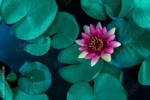 Canvas Prints Floral Beautiful lotus leaf near the pond, pure natural background, red lotus, lotus flower on the water surface and dark green watery leaves.