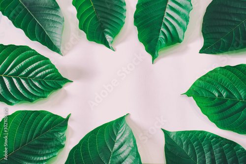 Mitragyna speciosa Korth (Kratom) is drug from plant. Canvas Print