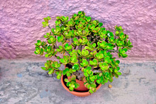 Lovely Example Of Crassula Ova...
