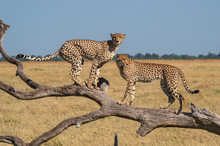 Cheetah Brothers In Savuti Marsh Within Chobe National Park, Botswana, Africa