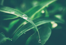 Water Drops On Green Grass, Nature Background