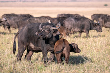 Mother Cape Buffalo With A Young Calf Close By Her Side, With The Rest Of The Herd Showing In The Background.  Image Taken In The Masai Mara, Kenya.