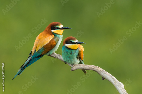 Photo European bee-eater in the natural environment, wildlife, close up, Europe, Merop