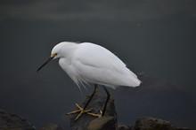 A Snowy Egret (Egretta Thula) ...