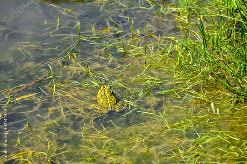 grenouille verte Canvas Print