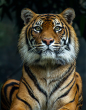A Majestic Sumatran Tiger Look...