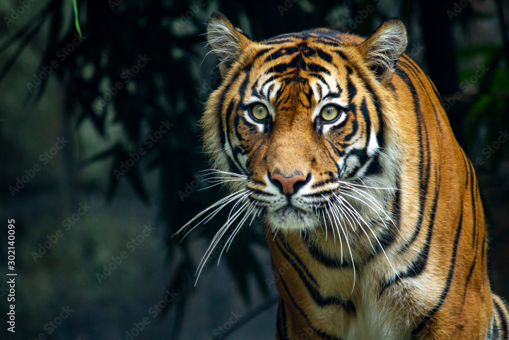 Fototapeta  Proud Sumatran Tiger prowling towards the camera