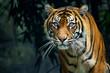 Proud Sumatran Tiger prowling towards the camera