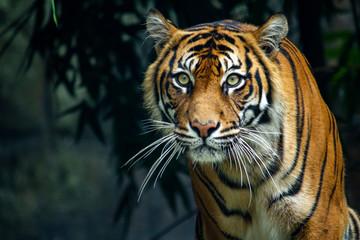 Ponosni sumatranski tigar provlači se prema kameri