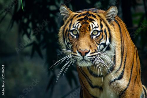 Naklejki tygrys   dumny-tygrys-sumatrzanski-grasuje-w-kierunku-kamery
