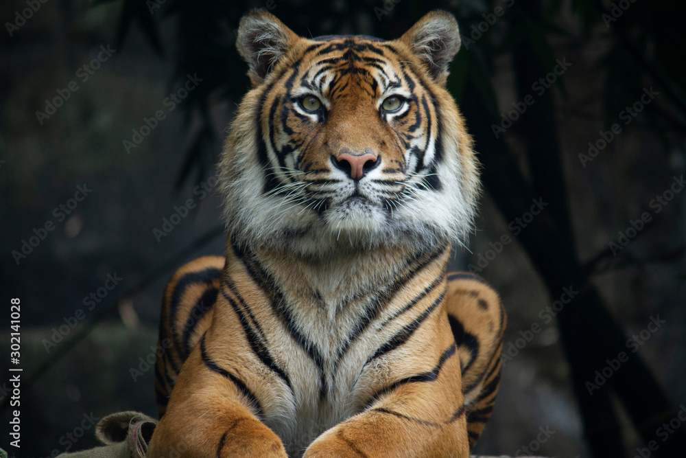 Fototapeta Sumatran Tiger landscape orientation