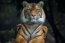 Sumatran Tiger Landscape Orien...