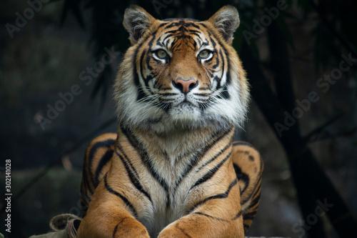 Sumatran Tiger landscape orientation