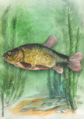 Fototapeta fish tench under water