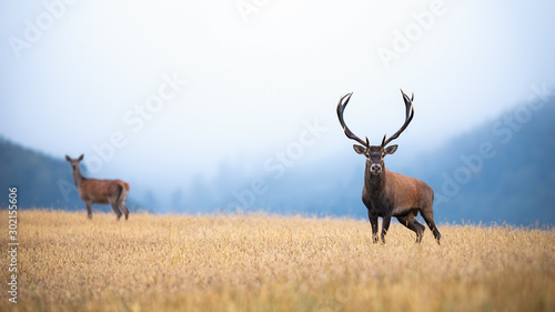 A pair of red deer, cervus elaphus, stag and hind on atmospheric field looking into the camera Wallpaper Mural