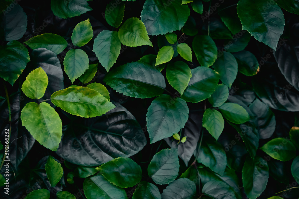 Fototapety, obrazy: Fresh green leaves with natural background, with beautiful smooth leaves for wallpapers.