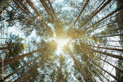 Fotografía Treetops of pine trees. Fisheye photo.
