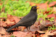 Common Blackbird On The Ground With Fall Leaves