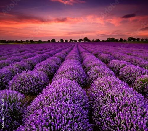 Fototapety, obrazy: field of lavender & lavener