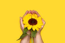 Manos Femeninas Sostienen Un Hermoso Girasol Fresco Sobre Fondo Amarillo Brillante. Vista Superior. Copy Space