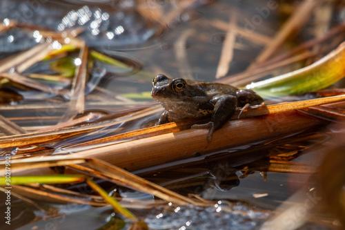 grenouille dans marais Canvas Print
