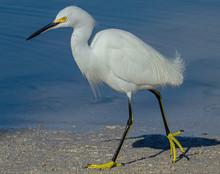Snowy Egret Walking Left In Mo...