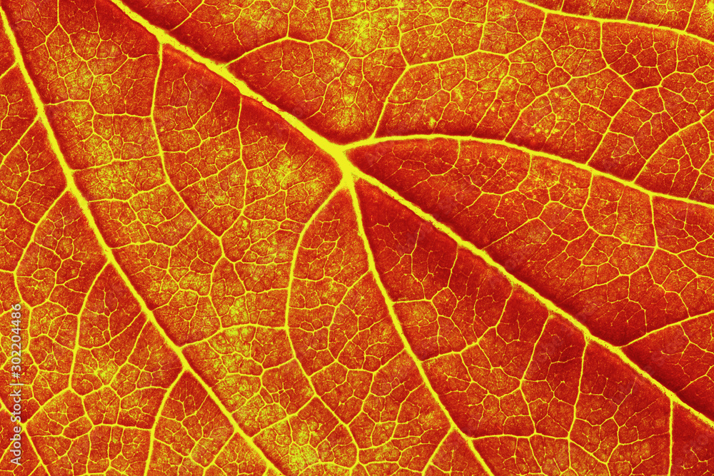 Fototapety, obrazy: macro photo of autumn leaf texture