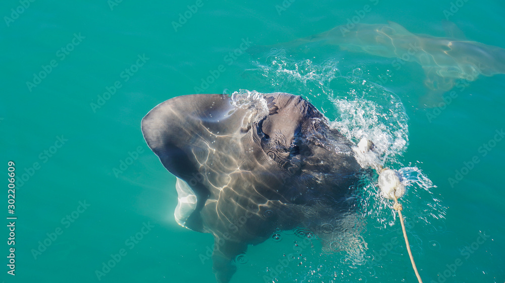 Fototapety, obrazy: Large Stringray lure feeding in South Africa shark diving attraction on boat