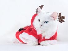 A British Long Hair Cat In Santa's Deer Costume