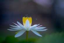 Bee Flying Over White Lilly Lotus Flower Against Blur Background