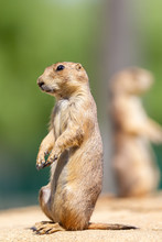 Black-tailed Prairie Dog In Th...