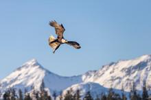 Adult North America Bald Eagle...