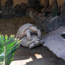 Two Giant Tortoises Mating In ...