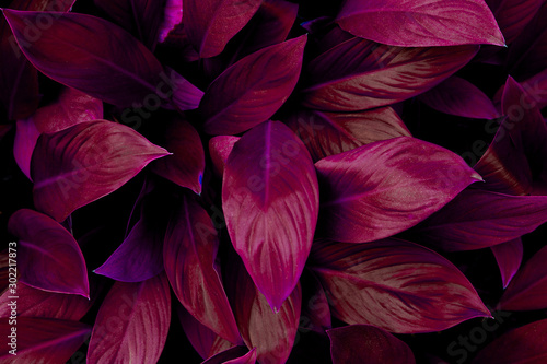 closeup nature view of colorful leaf in garden, dark tone nature background, tropical leaf #302217873