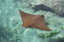 Atlantic Ocean Stingray Swimmi...