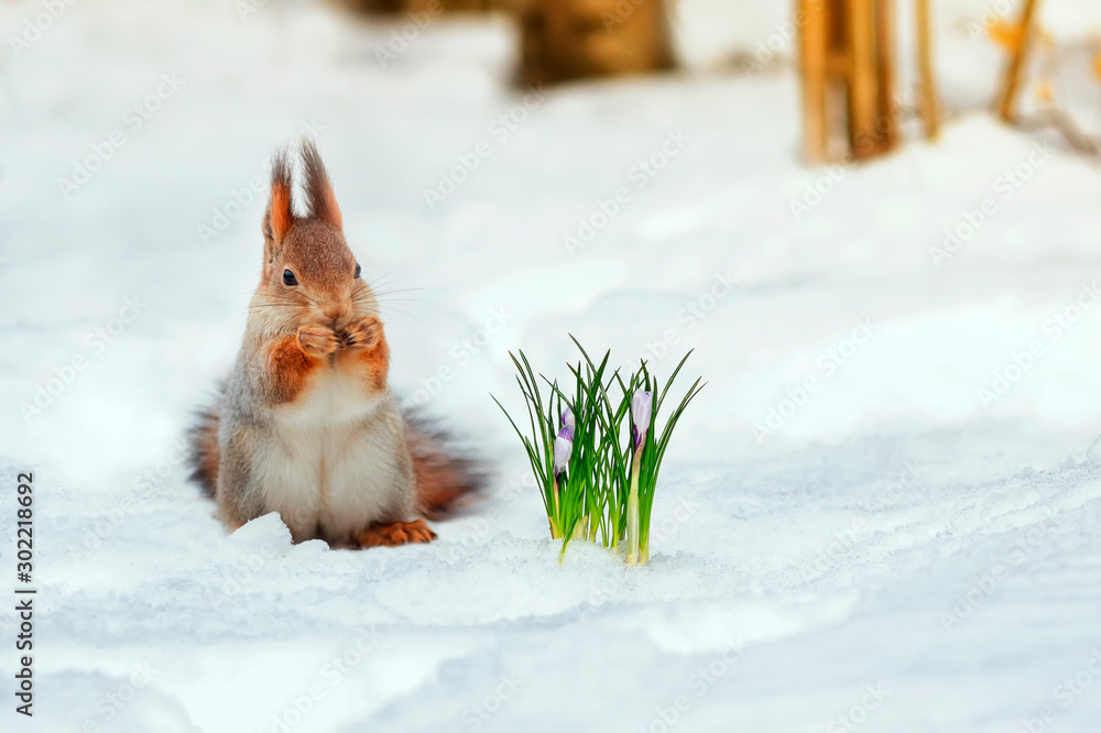 Fototapeta portrait of a cute red squirrel standing in the Park in white snow at the first flowers of snowdrops