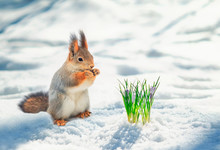 Cute Red Squirrel Stands In Th...