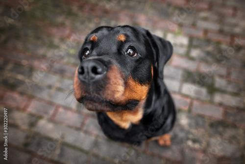 Photo rottweiler dog portrait outdoors