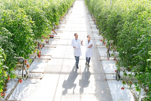 Photo Crop scientist looking and examining tomatoes growing in Greenhouse