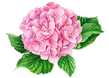 Elegant Pink Hydrangea Flower On An Isolated White Background, Watercolor Illustration