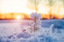 Winter Scenery With Snow Covered Small Pine Tree At Sunset. Idyllic Christmas Eve Landscape.