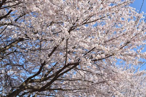 Aluminium Prints Birch Grove Cherry blossom in spring season