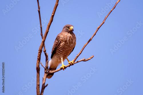 Roadside Hawk photographed at Cupido & Refugio Farm, in Linhares, Espirito Santo Canvas Print