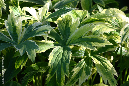Fresh motley very beautiful leaves of a astrantia are lit with morning sunshine Canvas Print