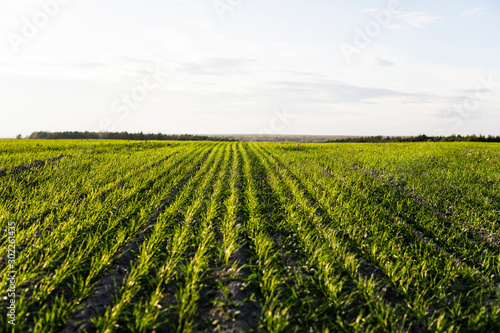 Obraz Field of young wheat seedlings growing in autumn. Young green wheat growing in soil. Agricultural proces. Close up on sprouting rye agriculture on a field sunny day with blue sky. Sprouts of rye. - fototapety do salonu