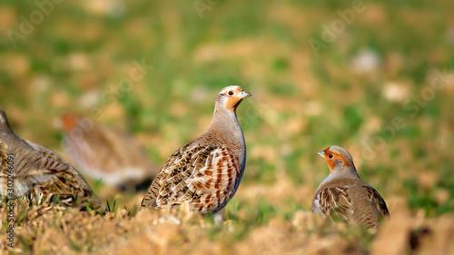 Fotografia Partridge